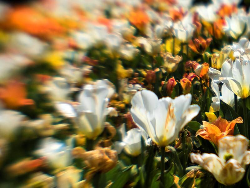 Fotograaf: Els Baltjes 'Tulpen'