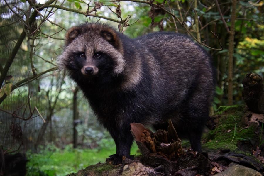 Astrid Sanders: Wasbeerhond
