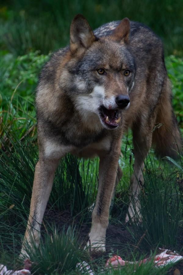 Astrid Sanders: De boze wolf