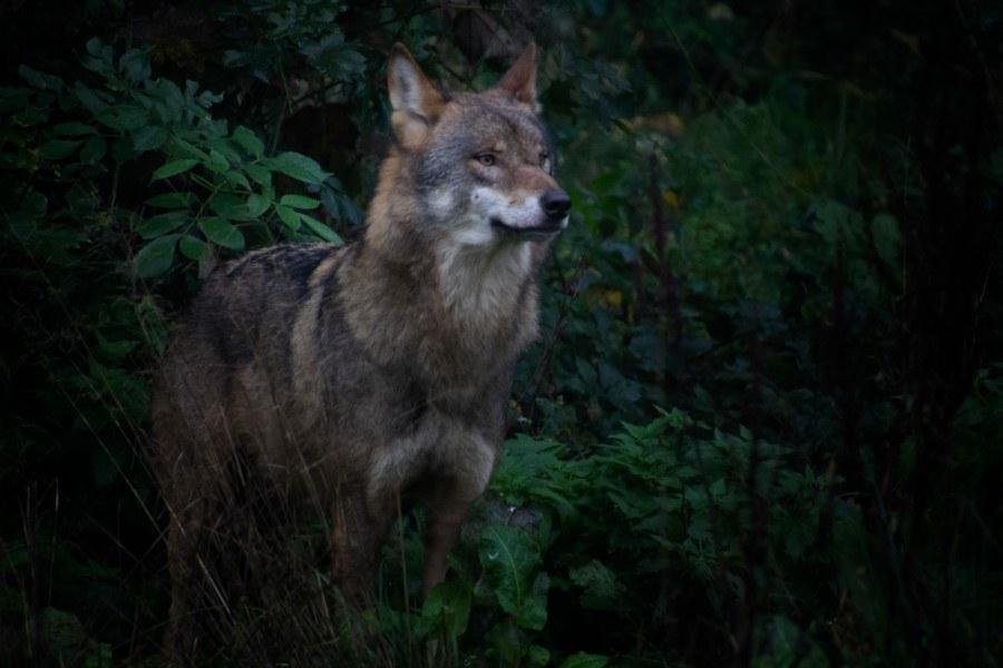 Astrid Sanders: Wolf