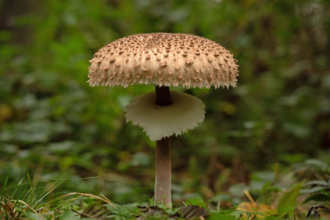 Ab van der Meij - paddenstoel