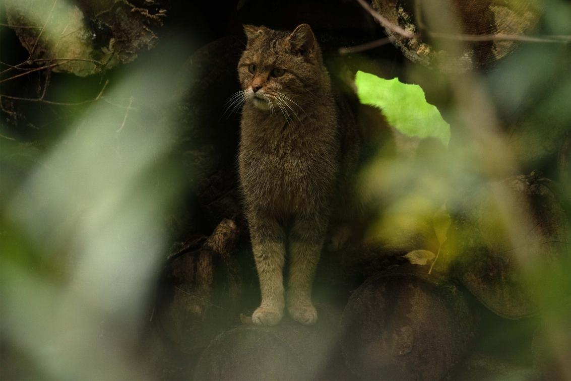 Ab van der Meij - wilde kat