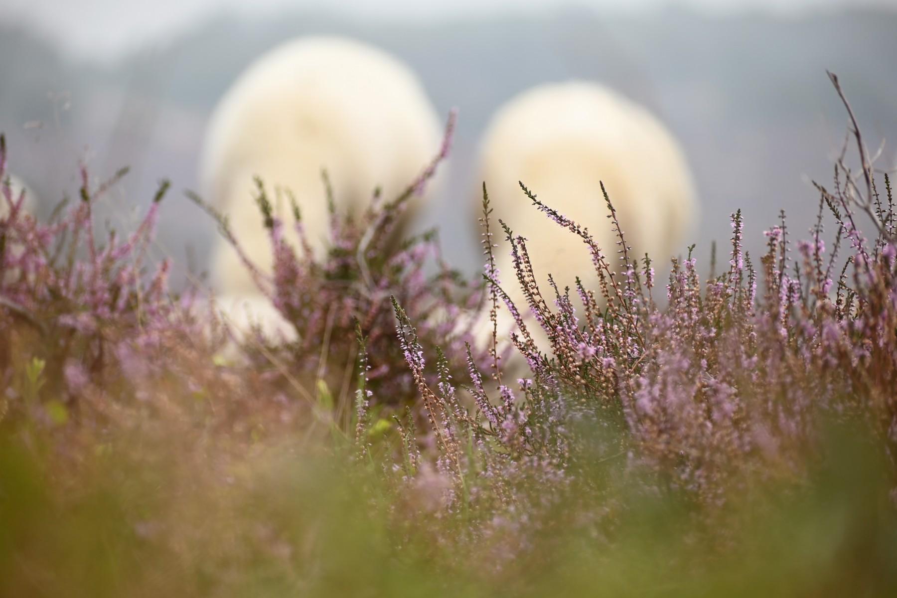 Bianca Dekkers-van Uden, bloeiende heide op de Posbank