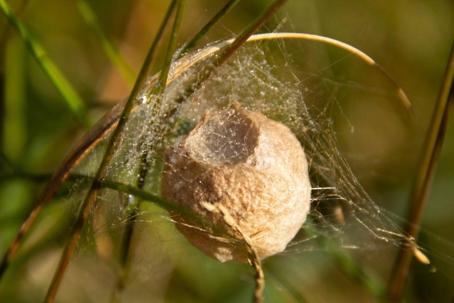 Astrid Sanders: Nest van de wespspin