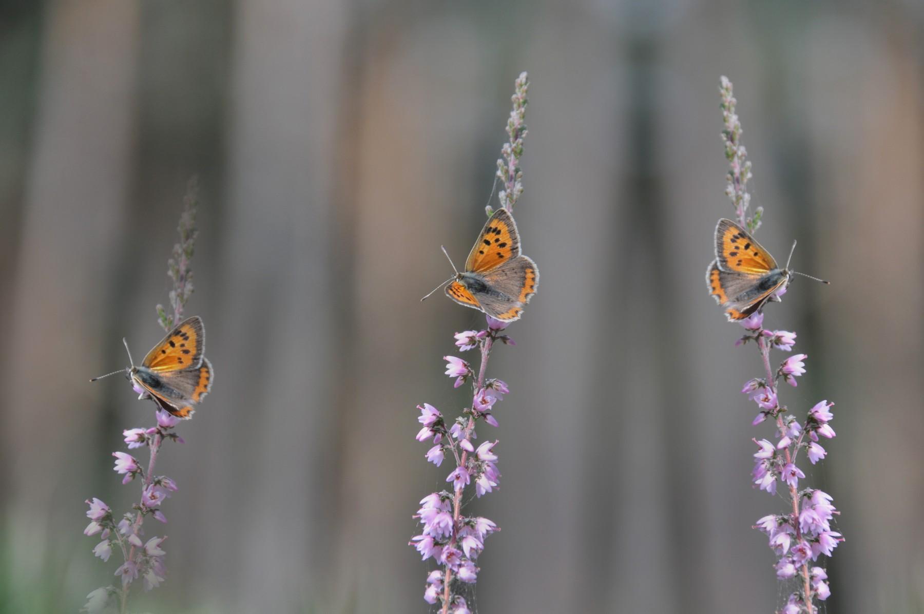 Bianca Dekkers-van Uden, Deelerwoud, allemaal vlindertjes