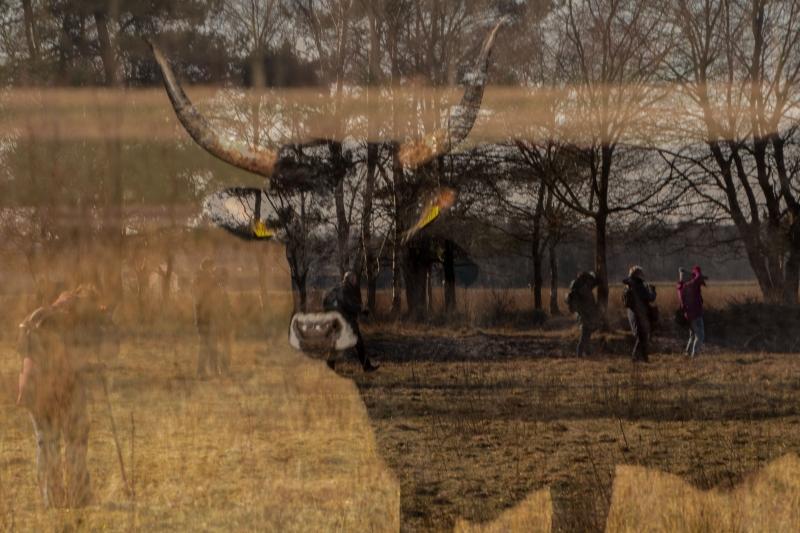 Fotograaf Inge Pfeil, De Maashorst, tauros