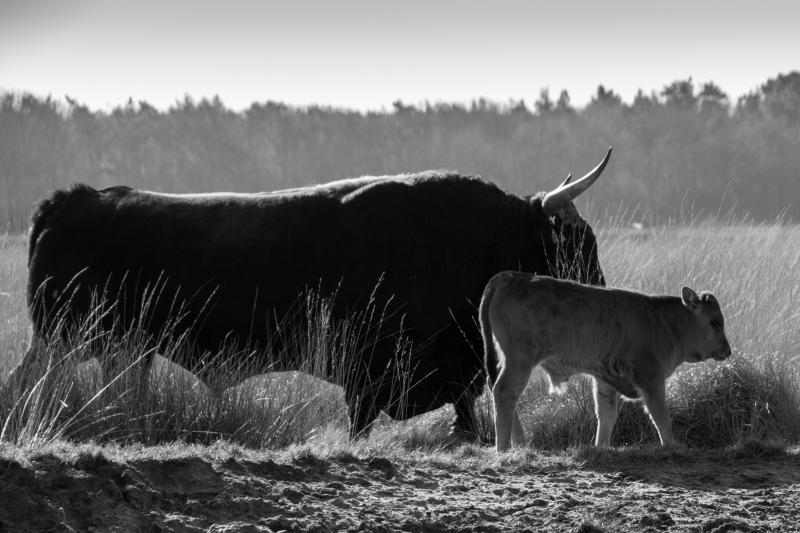 Fotograaf Inge Pfeil. De Maashorst, volwassen