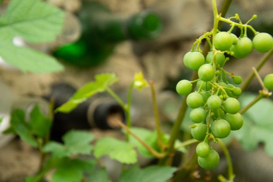 Astrid Sanders: Van druif tot wijn