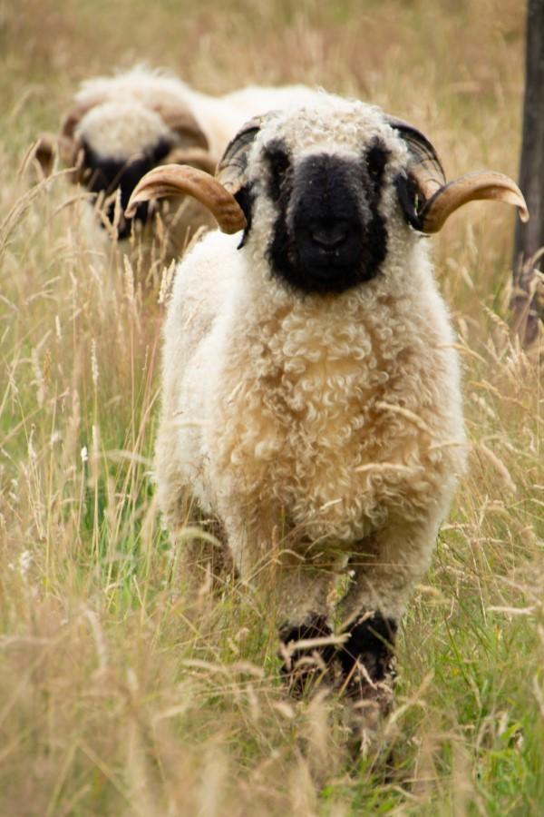 Astrid Sanders: Walliser zwartneusschaap