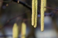 Fotograaf: Astrid Sanders 'Hazelaar in bloei'