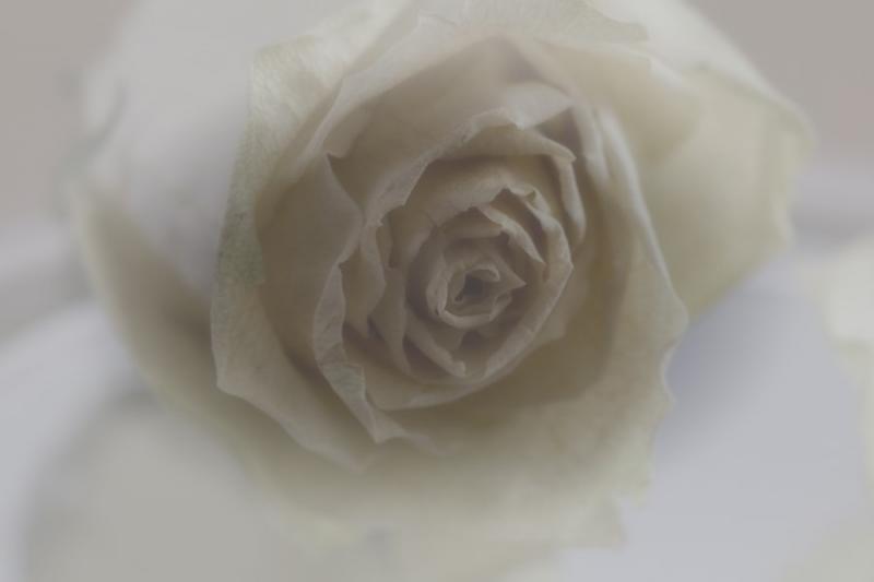 Fotograaf: Astrid Sanders 'Geest van een roos'