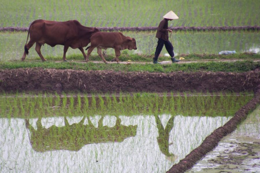 Fotograaf: Astrid Sanders 'Werken in de rijstvelden'