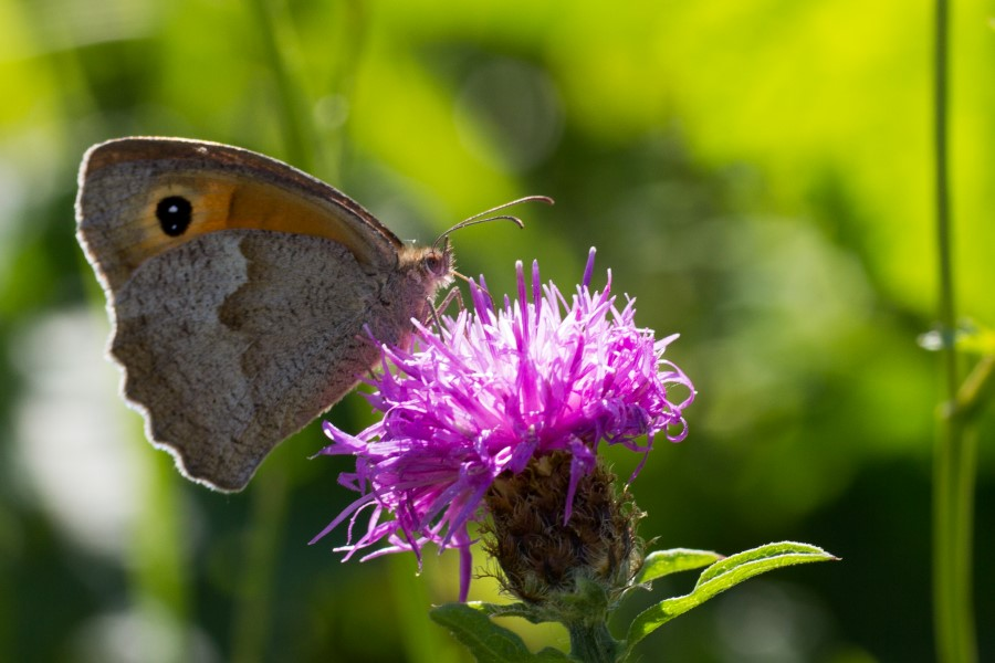 Fotograaf: Astrid Sanders 'Hooibeestje op distel'