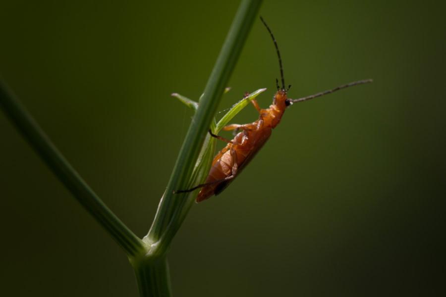 Fotograaf: Astrid Sanders 'Soldaatje (Rhagonycha fulva)'