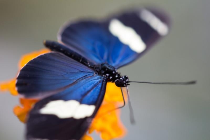 Fotograaf: Astrid Sanders 'Heliconiusvlinder (Heliconius cydno)'