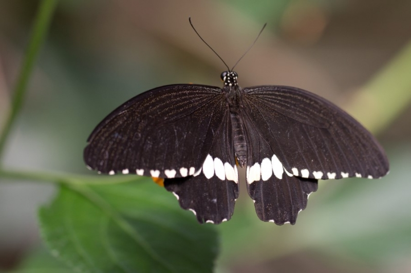 Fotograaf: Astrid Sanders 'Pagesvlinder (Papilio polytes)'