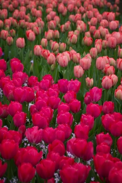 Fotograaf: Astrid Sanders 'Tulpen'