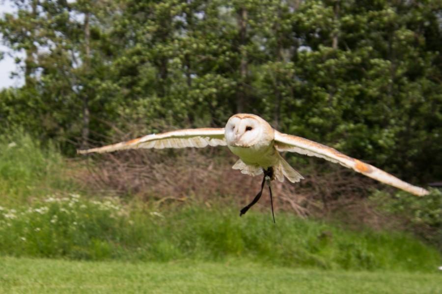 Astrid Sanders:  Vliegende kerkuil