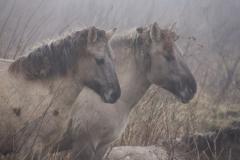 Fotograaf: Astrid Sanders 'Konikpaarden'