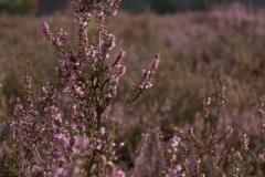 Fotograaf: Astrid Sanders 'Heide'