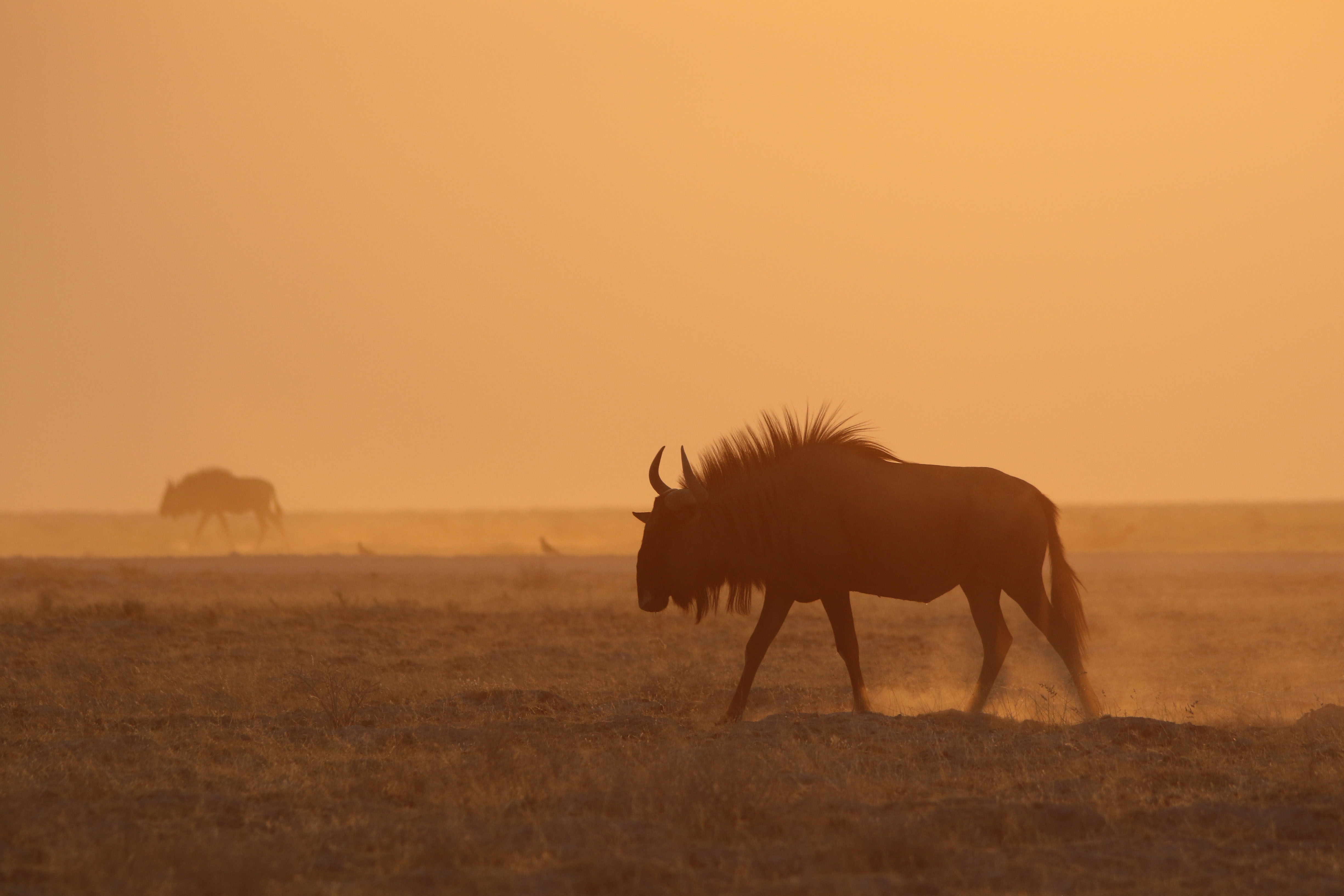 Wildebeest Namibië