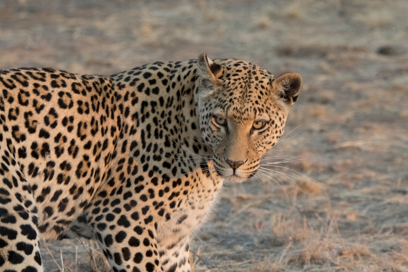 Luipaard Namibië