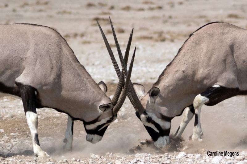 Spiesbokken in gevecht Namibië