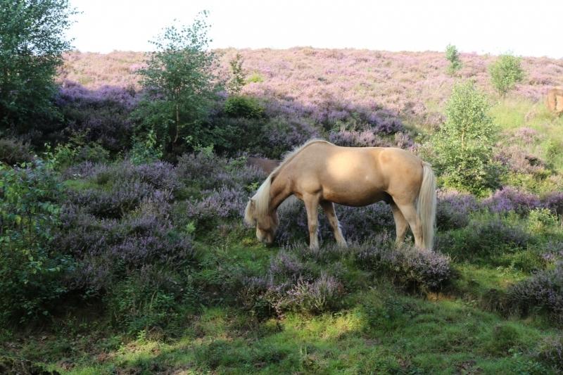 Grazend paard in de hei