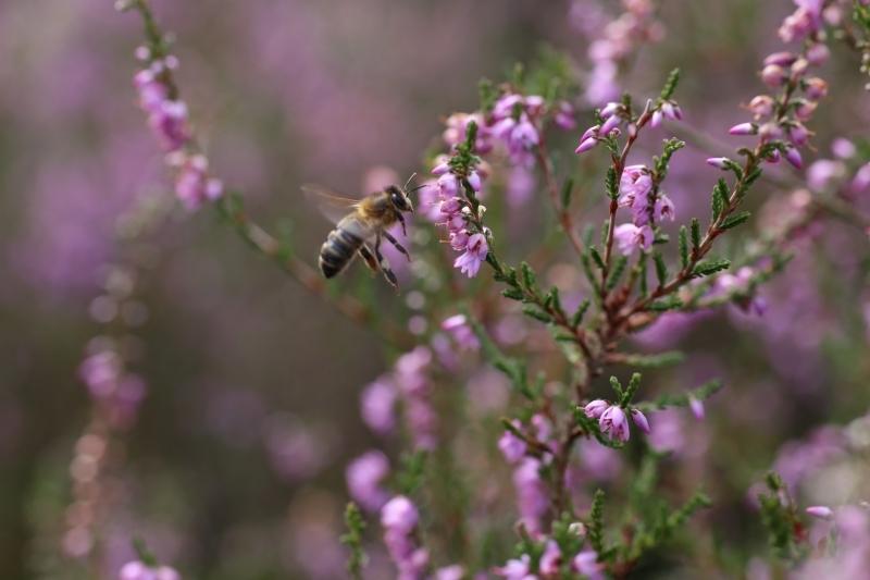 Close-up heide met honingbij