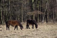 Fotograaf: Carry Megens Exmoor ponies