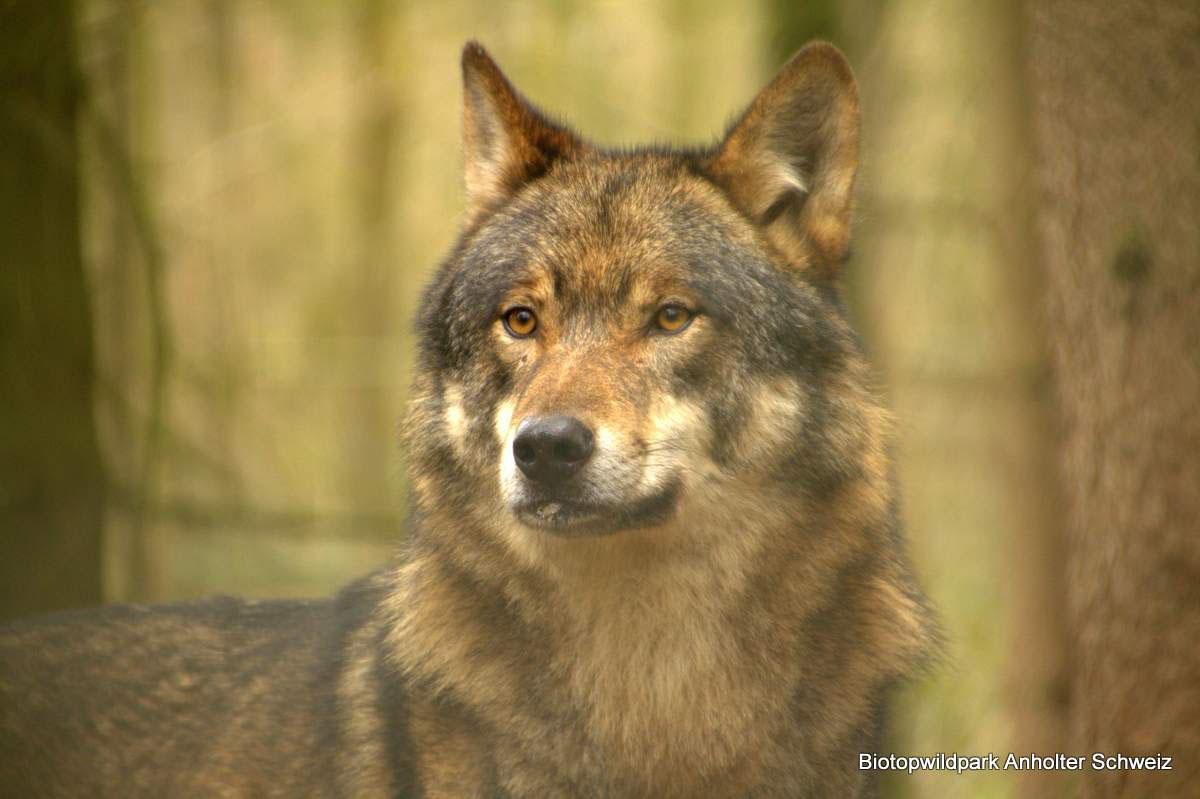 Fotograaf Inge Pfeil, Wolf
