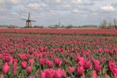 Fotograaf Inge Pfeil, Voorjaar, tulpen