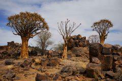 016-kokerboom-woud-Namibië
