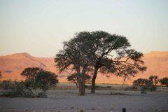 020-acacia-Namibië
