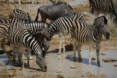 023-zebra