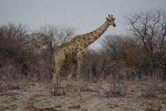 025-giraf