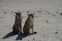 027-cheetahs