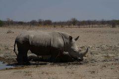 028-zwarte-neushoorn-Namibië