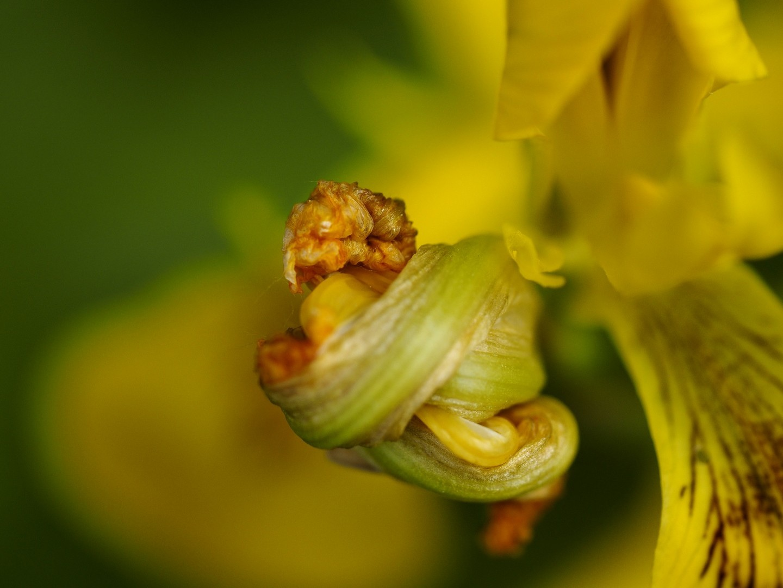 Chris Castelijns: Gele iris