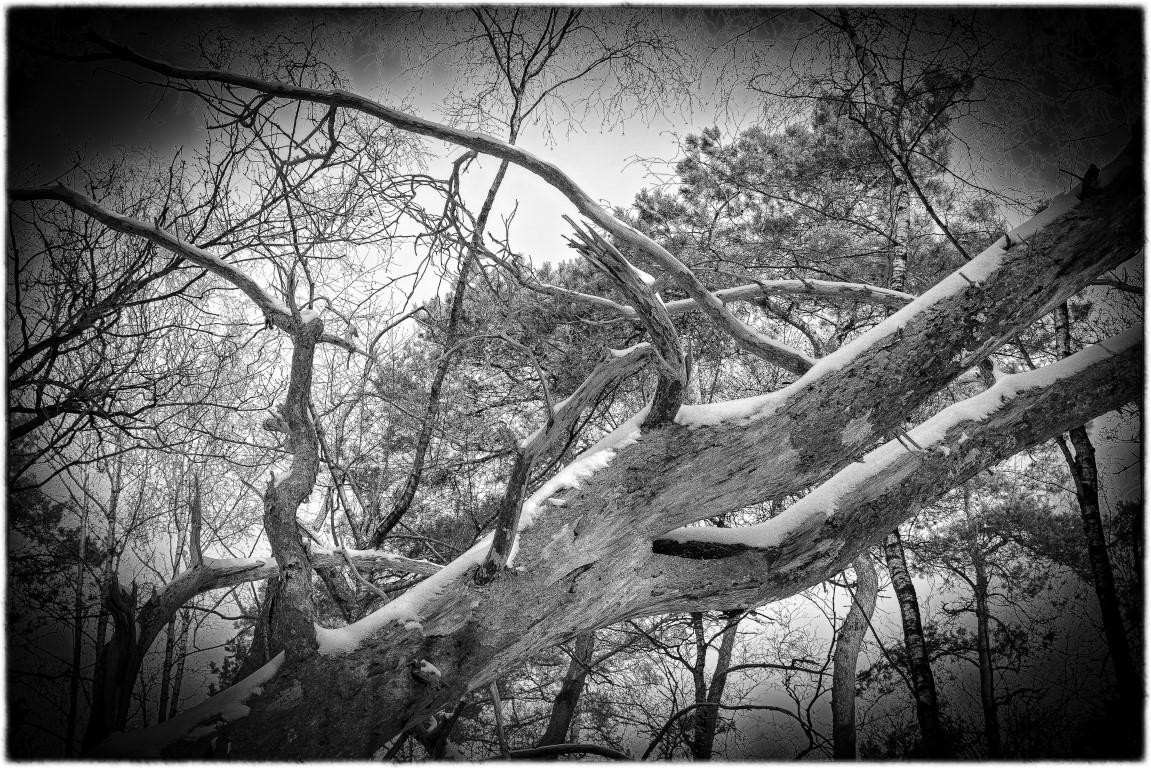 schuine-boom-met-sneeuw-zw-wit_wow8167-middel