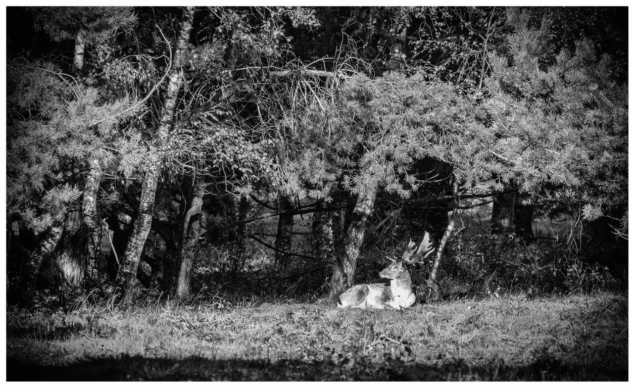 Jeroen Hoogakker: hert zwart -wit