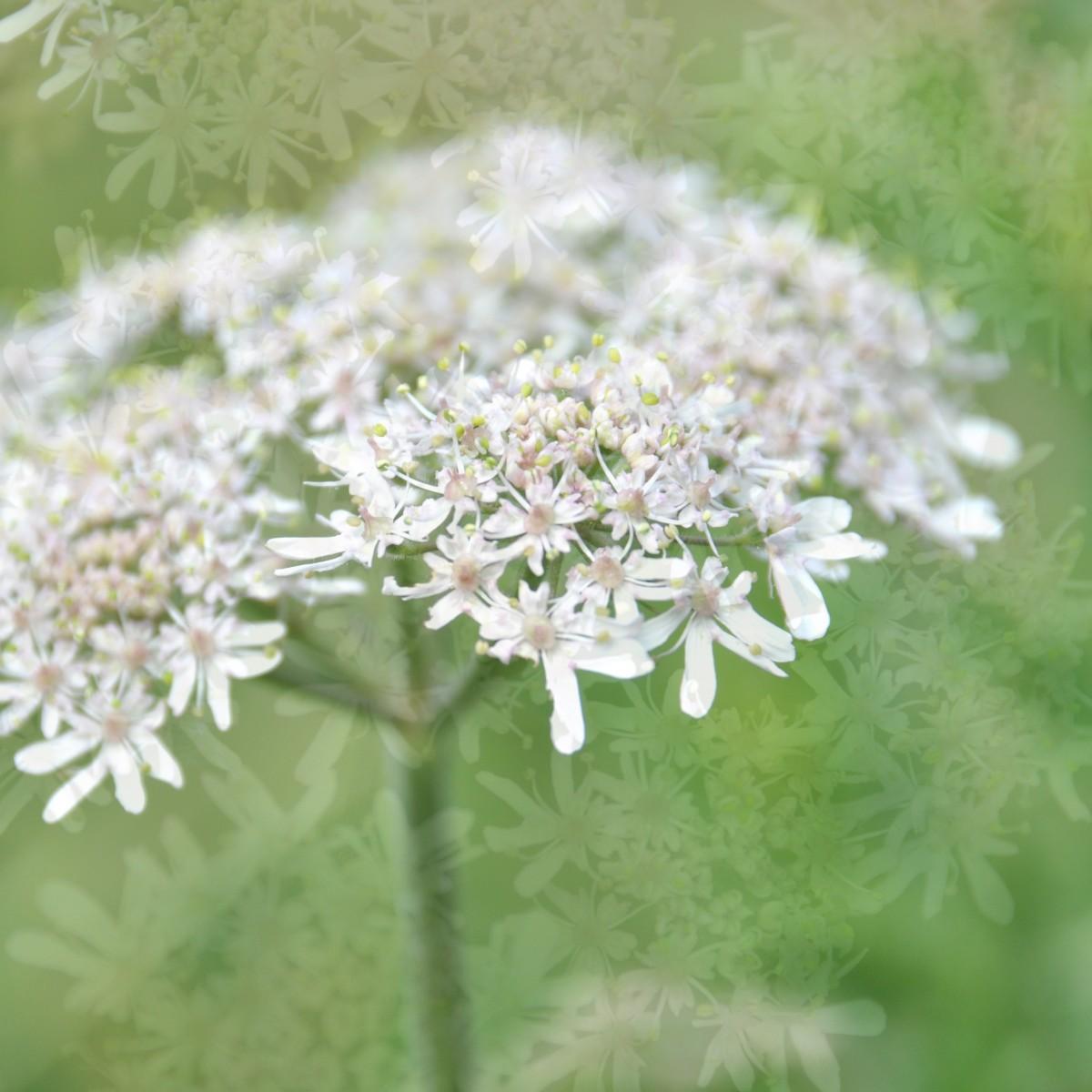Bianca Dekkers-van Uden, witte wilde bloemetjes, Uiterwaarden Wageningen