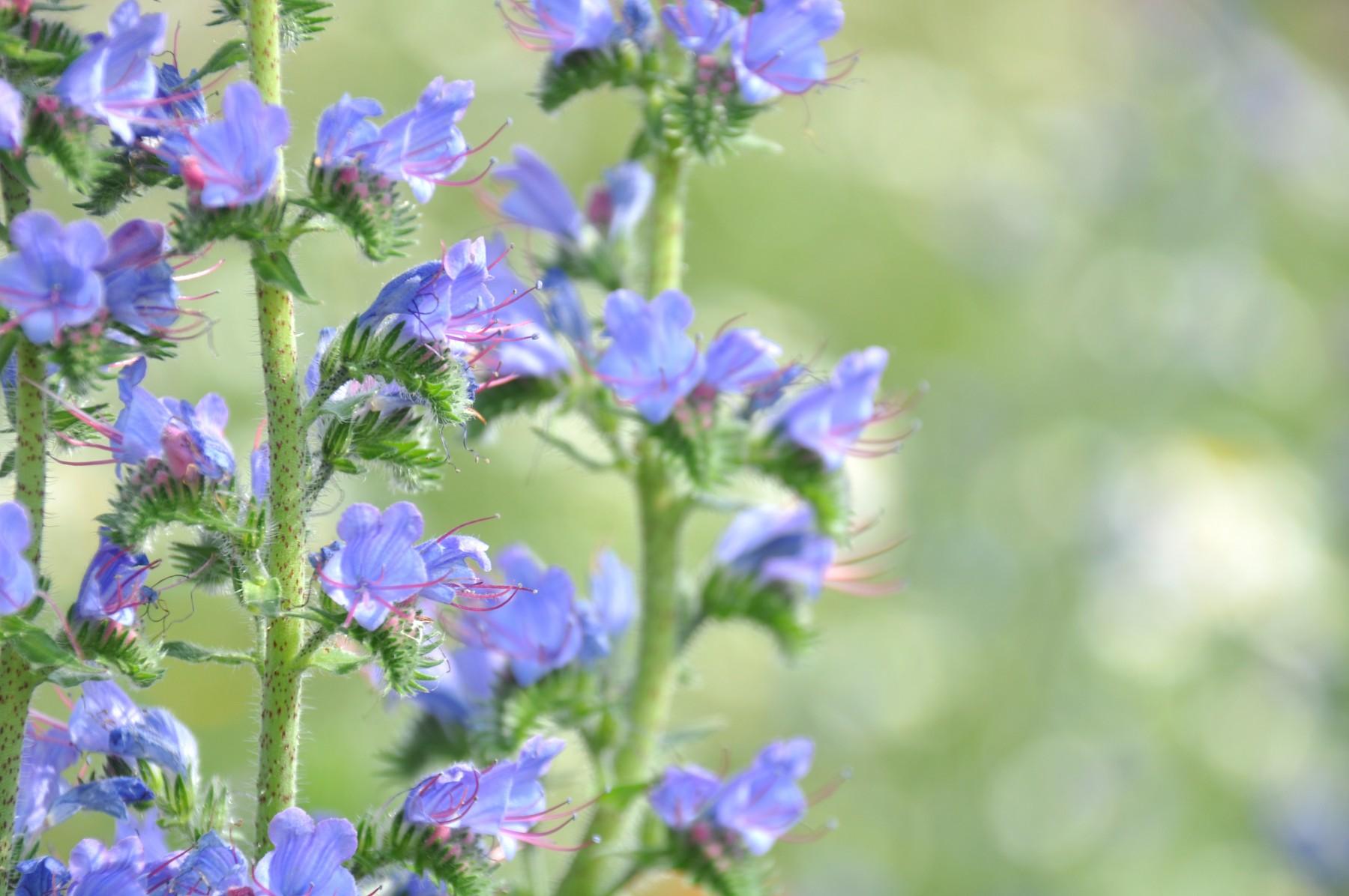 Bianca Dekkers-van Uden, blauwe bloemetjes,kruipend zenegroen, Uiterwaarden Wageningen
