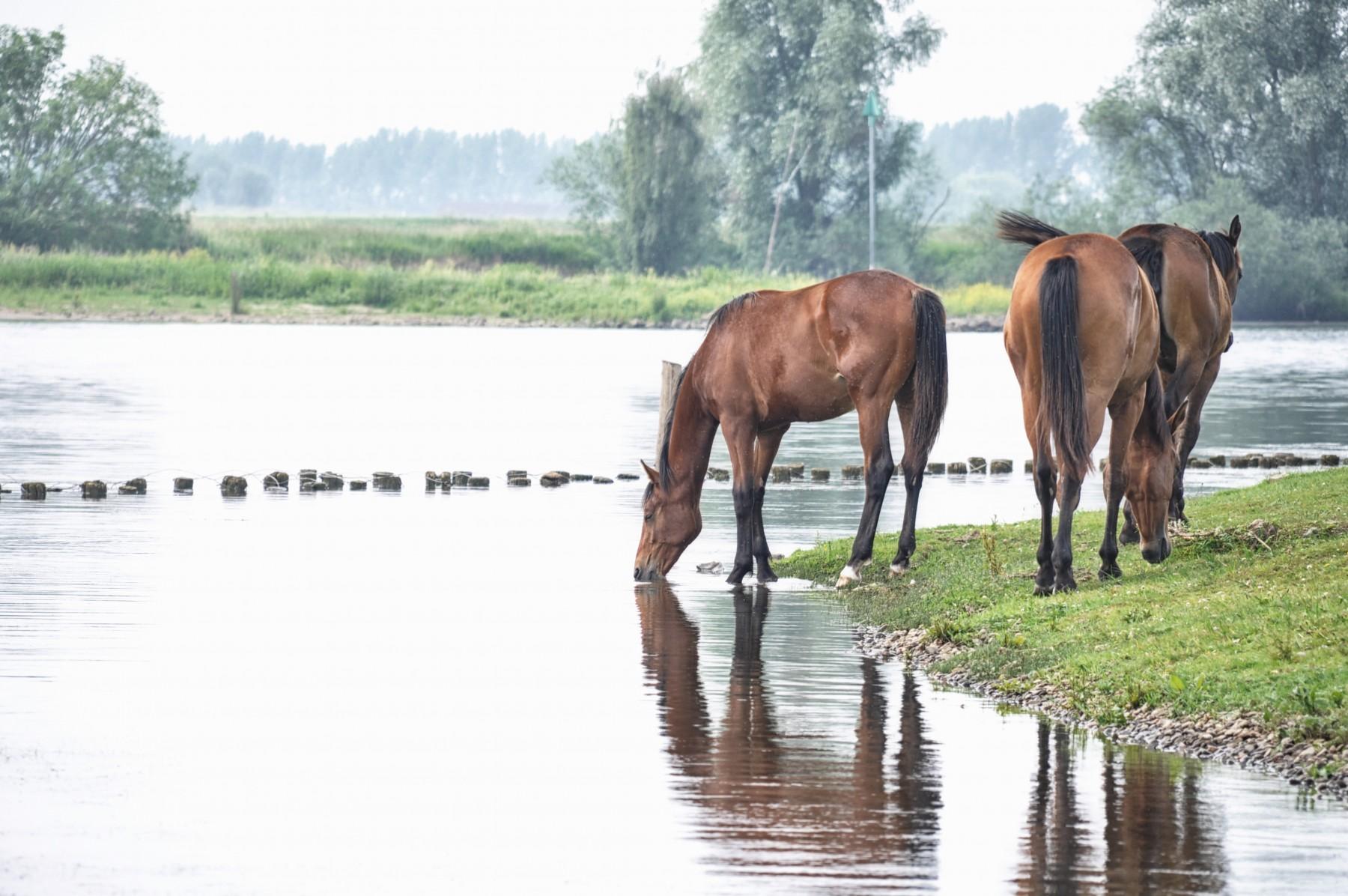 Bianca Dekkers-van Uden, wilde paarden drinken uit de Rijn, Uiterwaarden Wageningen