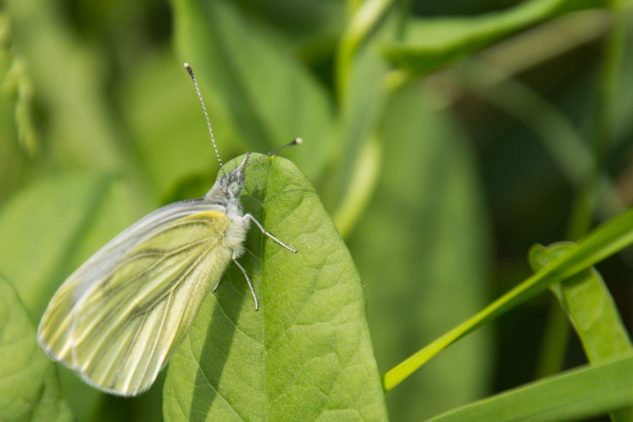 Astrid Sanders: Vlinder