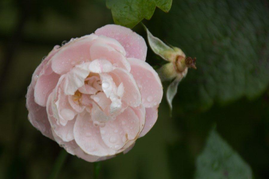 Astrid Sanders: En een enkele roos