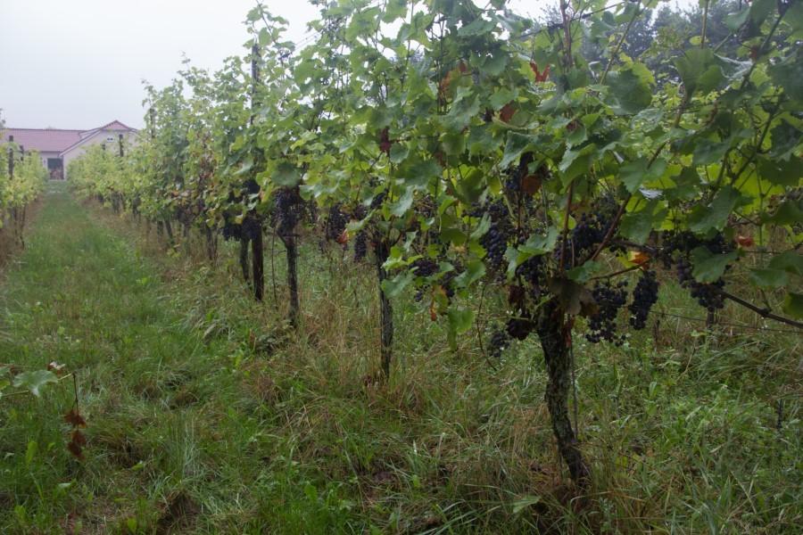 Astrid Sanders: Wijnbouw